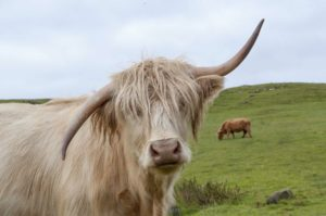 Image of Highland Cow with a wonky horn