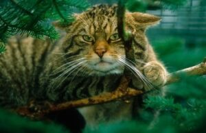 Photo of Scottish Wildcat